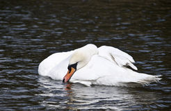 Swan Sleeping Royalty Free Stock Photo