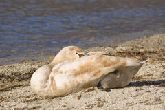 Swan sleeping Stock Photos