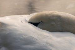 Swan sleeping on lake Royalty Free Stock Photography