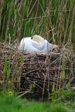 Swan sleeping nest Royalty Free Stock Photo