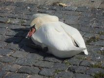 Swan Sleeping Stock Photo