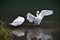 Swan sleeping and swan wake up in the lake. Swan wake up and swan sleeping near the lake Stock Photography