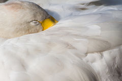 Swan Sleeping Stock Images