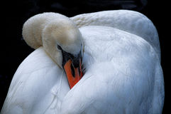 Swan sleeping Royalty Free Stock Images