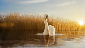 Swan slow motion zoom in. A slow motion zoom in with a swan on the lake stock video