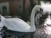 Swan in small pond Royalty Free Stock Images