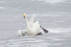 Swan in Snow Royalty Free Stock Photo