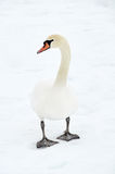 Swan in snow Stock Image