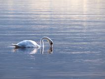 Swan som behagfullt simmar fotografering för bildbyråer