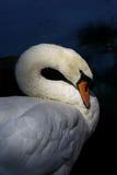 Swan som putsar vid laken Arkivfoto