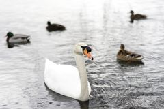 A swan and some ducks on a lake. A Swan and some ducks swimming on a lake outdoors. There is a white swan and brown ducks and ohne grey duck with a green head Royalty Free Stock Image