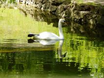 Swan. From some park situated somewhere in Lviv, Ukraine Stock Images
