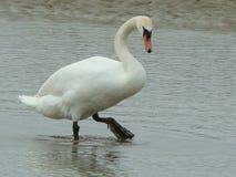 Swan 4 Stock Photos