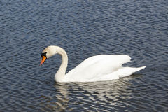 Swan Song Stock Photo