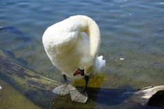 The Swan Song Beauty by the Lake. Swan Expression of beauty, using its familiar environment to the fullest and displaying the secrets of its existence stock images
