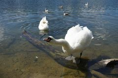 The Swan Song Beauty by the Lake. Swan Expression of beauty, using its familiar environment to the fullest and displaying the secrets of its existence royalty free stock image