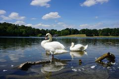 The Swan Song Beauty by the Lake. Swan Expression of beauty, using its familiar environment to the fullest and displaying the secrets of its existence royalty free stock photo