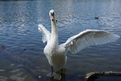 The Swan Song Beauty by the Lake. Swan Expression of beauty, using its familiar environment to the fullest and displaying the secrets of its existence royalty free stock photos