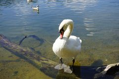 The Swan Song Beauty by the Lake. Swan Expression of beauty, using its familiar environment to the fullest and displaying the secrets of its existence stock photos