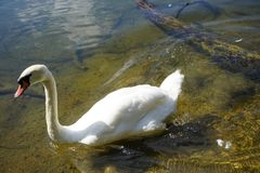 The Swan Song Beauty by the Lake. Swan Expression of beauty, using its familiar environment to the fullest and displaying the secrets of its existence stock photo
