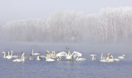 Swan song. Wild swans at lake on winter moning Stock Photo