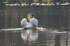 Swan Southampton Common Stock Photography