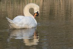 Swan on Southampton Common. A mute swan on the Ornamental Lake on Southampton Common royalty free stock photo