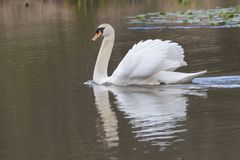 Swan on Southampton Common. A mute swan on the Ornamental Lake on Southampton Common stock image