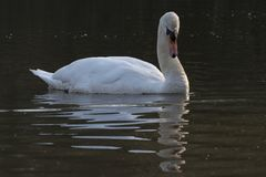 Swan on Southampton Common. A mute swan on the Ornamental Lake on Southampton Common stock photos