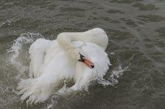 A swan splashing Stock Photos