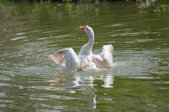 Swan splashing water, stock image Stock Images