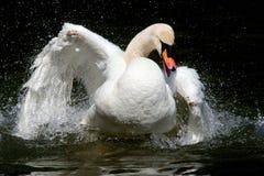 Swan splashing water. White swan having fun in water splashing waterdrops with wings, white feathers, black background Stock Photography
