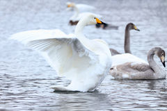 Swan. Spread its wings on the water Royalty Free Stock Photography