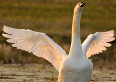 Swan with spread wings. Portrait of white swan with spread wing Stock Images