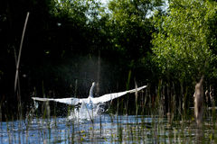 Swan with spread wings trying to take off Royalty Free Stock Photos
