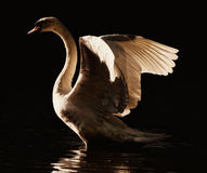 Swan spreading its wings. A backlit shot of an adult swan spreading its wings Stock Photo