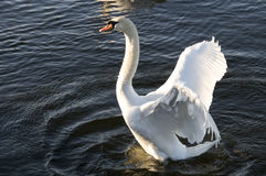 Swan spreading its wings. A Swan spreading its wings Royalty Free Stock Photography