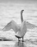Swan spreading its wings Royalty Free Stock Image