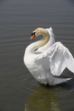 Swan spreading its wings Stock Photography