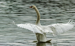 Swan spreading wings in the river Stock Image