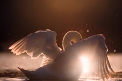 Swan Spreading Wings with Sunlight Under Wing Royalty Free Stock Photography
