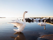Swan Spreads Wings Stock Images