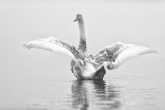 Swan Spreads Wings in Black and White Stock Photos