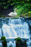 Swan and spring of the Bosna River. Spring of the Bosna River (Vrelo Bosne) in Sarajevo, Bosnia and Herzegovina stock photography