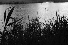 Swan on the spring lake. Swan on a spring lake overgrown with reeds, black and white photograph Royalty Free Stock Images
