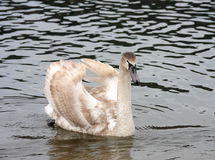 Swan in the spring in a marriage dress Royalty Free Stock Photos