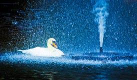 Swan in sprinkling water Stock Image