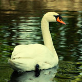 Swan, square toned image Royalty Free Stock Photography