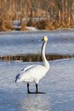 Swan standing on ice Royalty Free Stock Photos