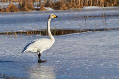 Swan standing on ice Stock Photography